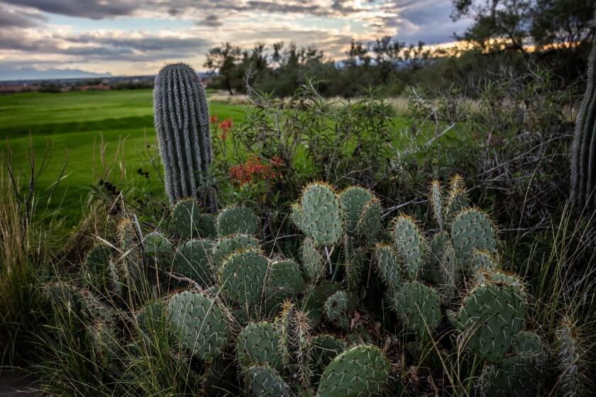 Arizona National Golf Course vegetation