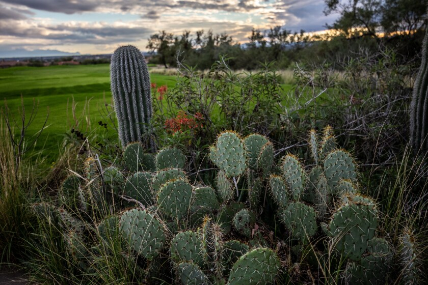 Arizona National Golf Course vegetation